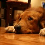 A Lei do Silêncio Vale Para os Animais de Estimação?